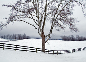 Sycamore / Fence in Snow